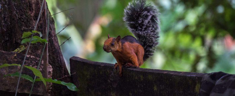 Squirrel in CostaRica